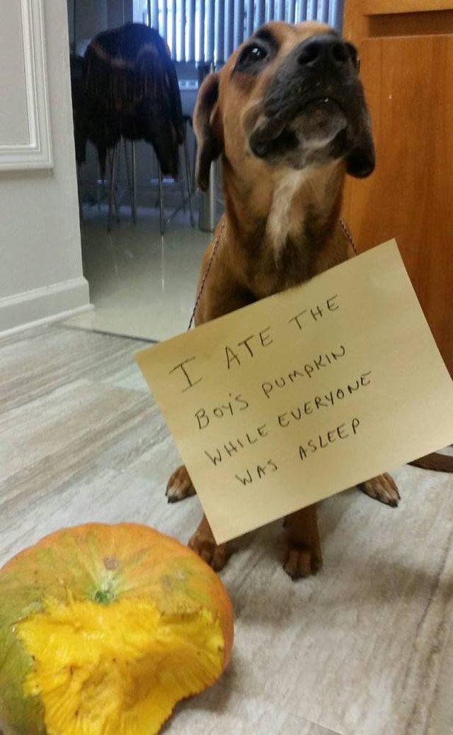"Dog next to partially eaten pumpkin wearing a sign that says ""I ate the boy"