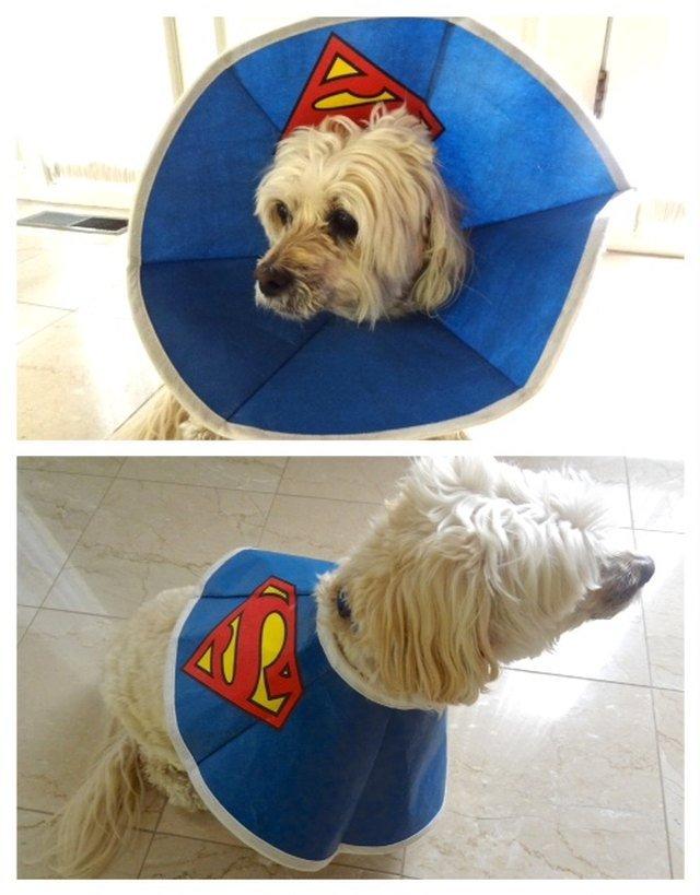 Dog wearing E-collar with Superman logo