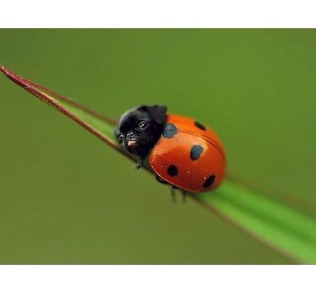 Ladybug with pug head.