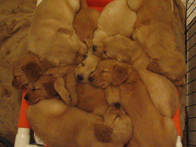 Pile of golden retriever puppies.