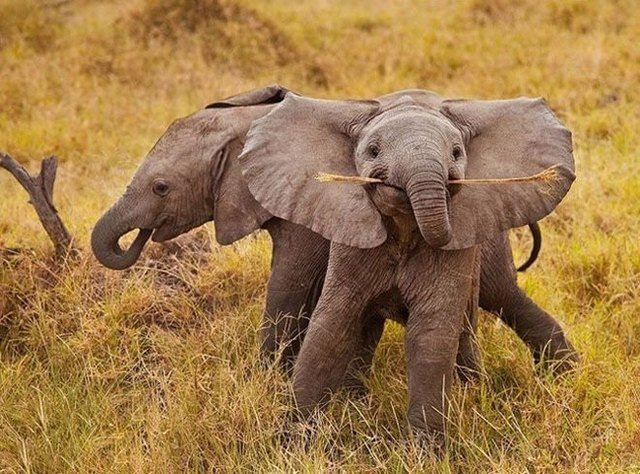 Two elephants, one of which is holding a stick