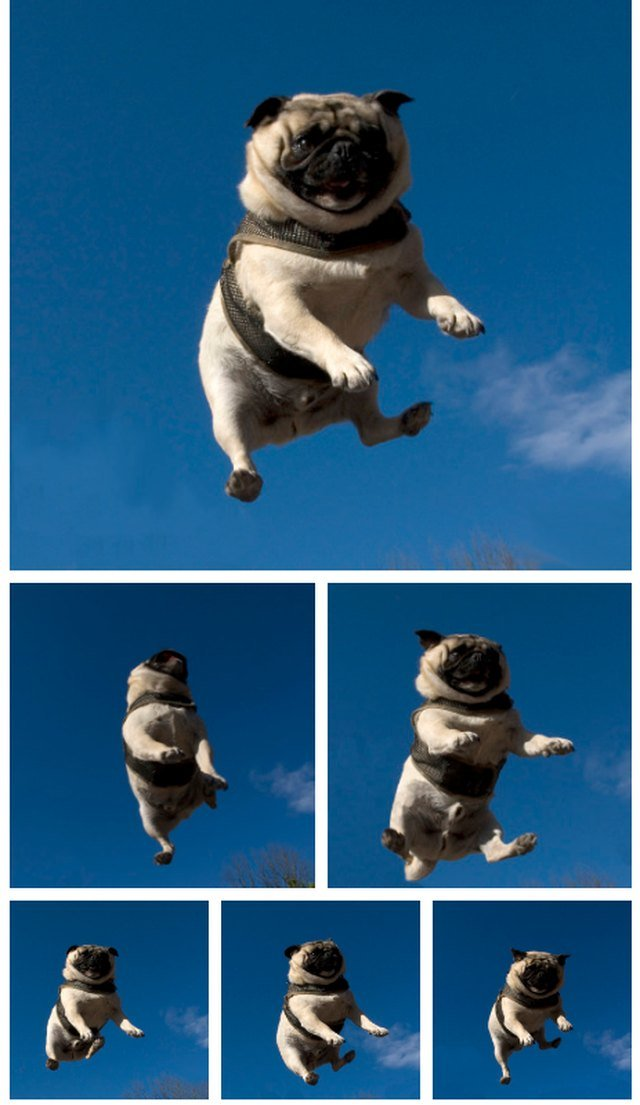 Pug jumping on trampoline
