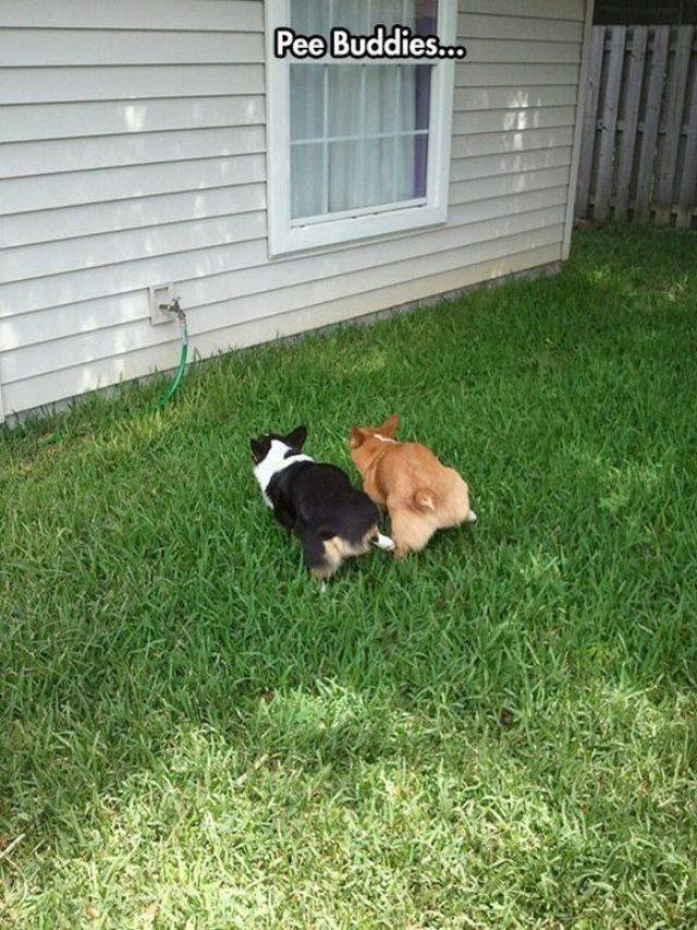 """Dogs that are """"pee buddies"""" and peeing at the same time!"""