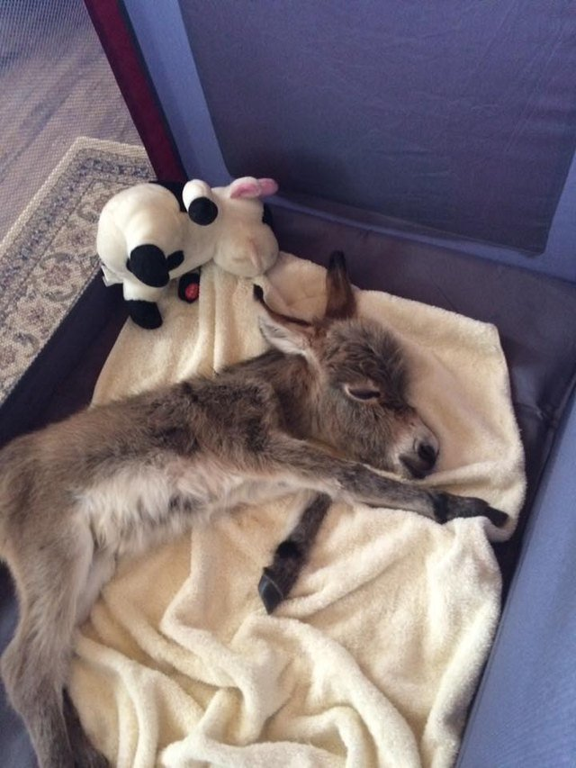 Miniature donkey sleeping in a dog bed.