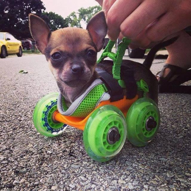 Precious Pup on Wheels