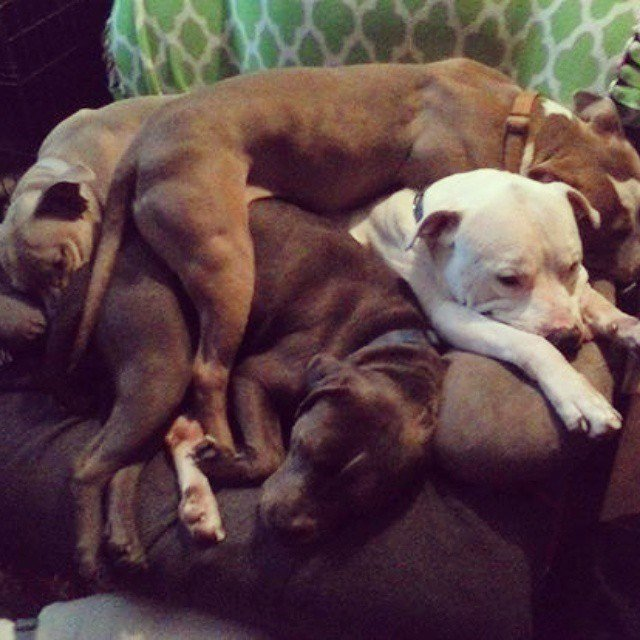 Pit bull dogs on top of each other.