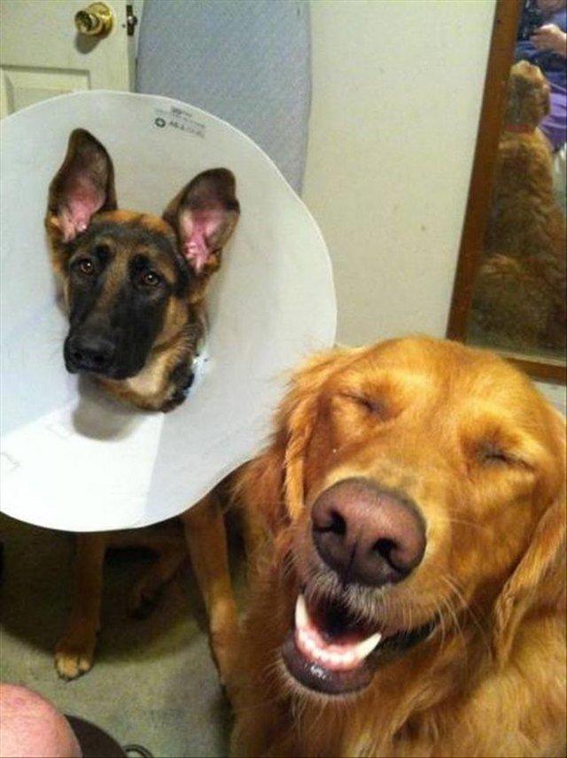 Sad dog wearing E-collar next to happy collar-less dog