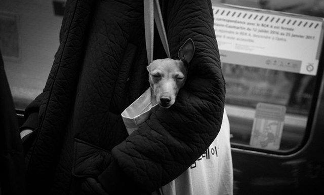 Dog in tote bag