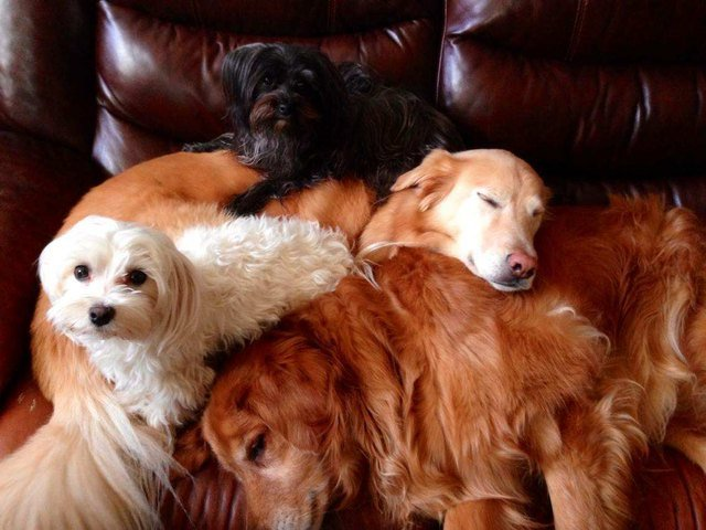 Dogs piled on couch.