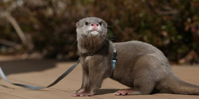 Otter wearing a harness and leash.
