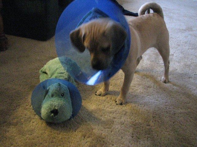 Dog wearing E-collar next to stuffed animal with E-collar