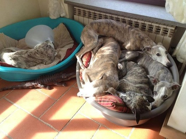 Dog wearing E-collar in dog bed alone next to dog bed full of dogs