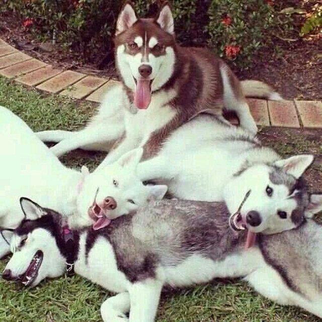 Huskies in a pile.