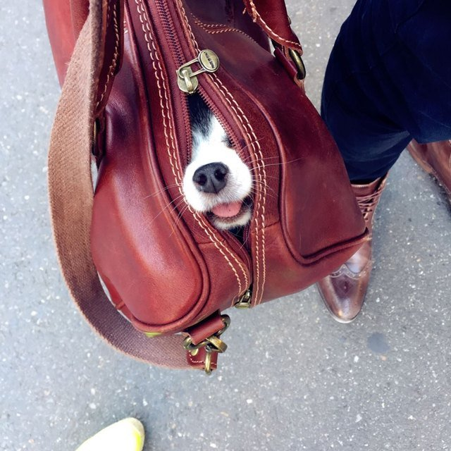 Dog in purse
