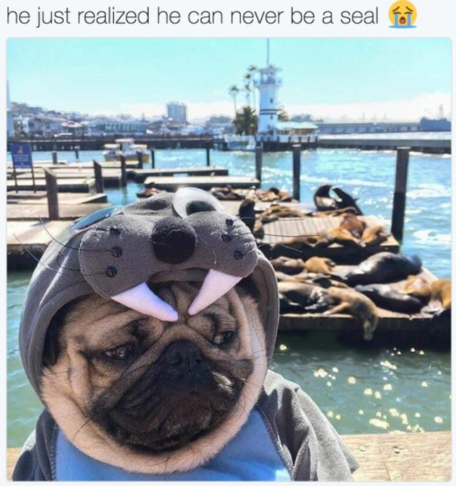 Pug at the wharf in a seal costume