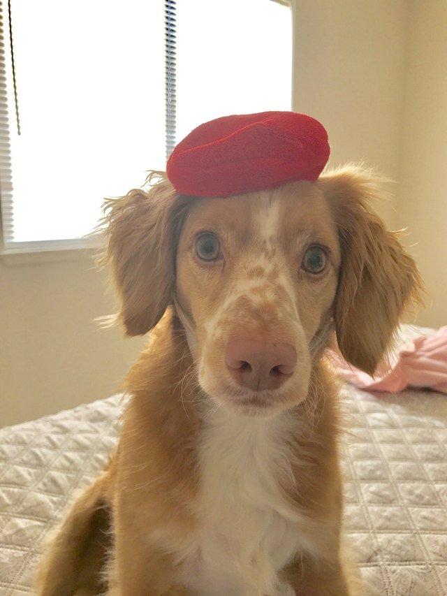 Dog wearing beret.
