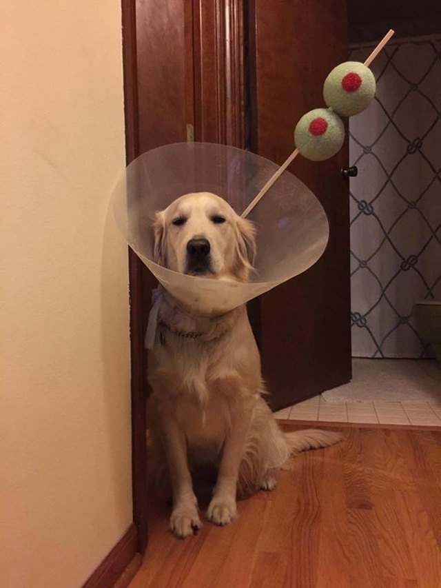 Dog wearing E-collar styled like a martini.