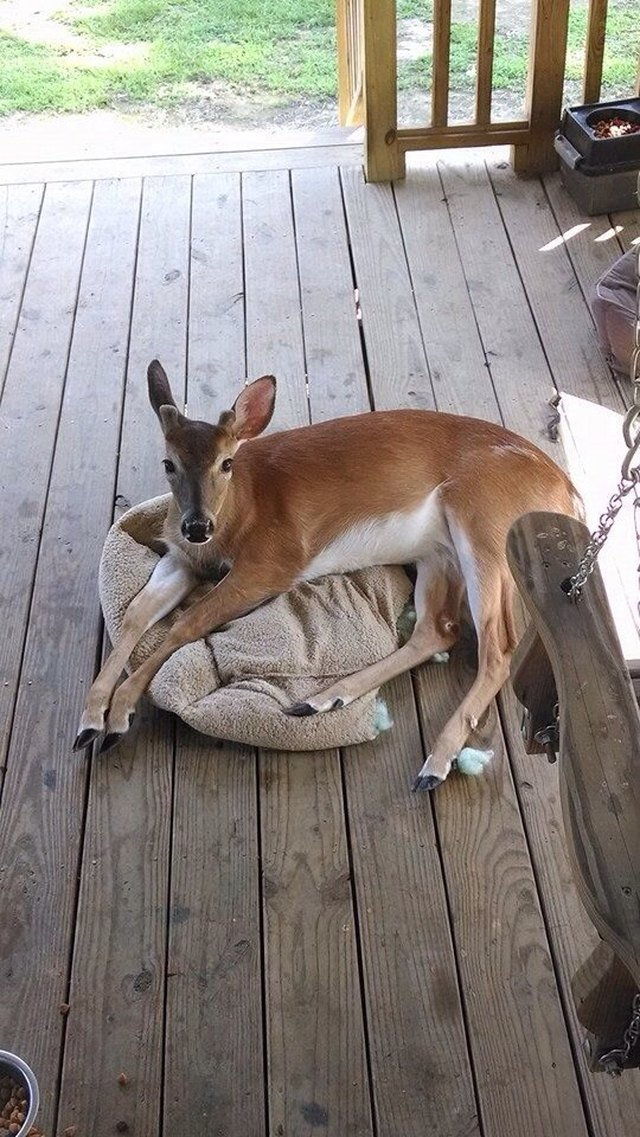 Deer laying on dog bed.