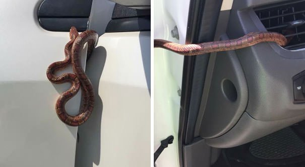 My Mom Almost Crashed Her Car Today Cause A Snake Started Coming Out Of Her Vents While She Was Driving