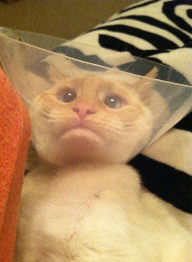 Cat wearing E-collar