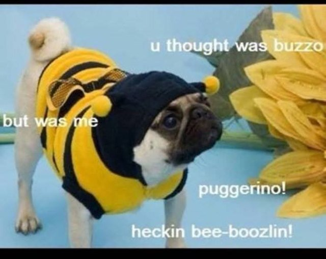 Pug in a bumblebee costume