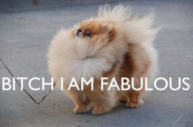 Pomeranian with hair blowing in the wind.