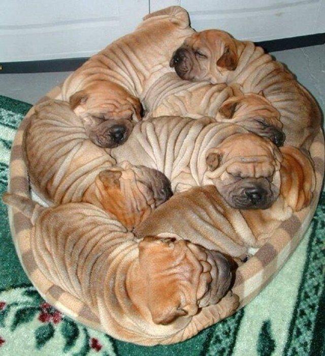 Cluster of sleeping puppies.