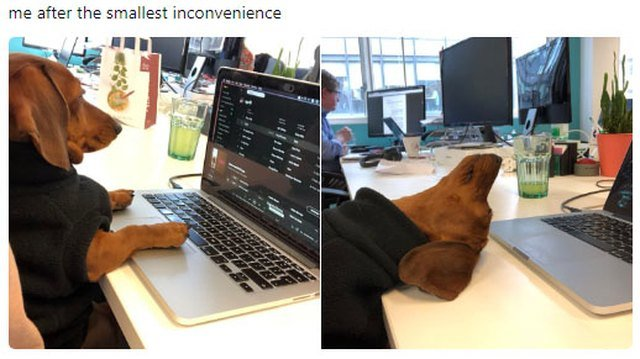 Dog giving up on work