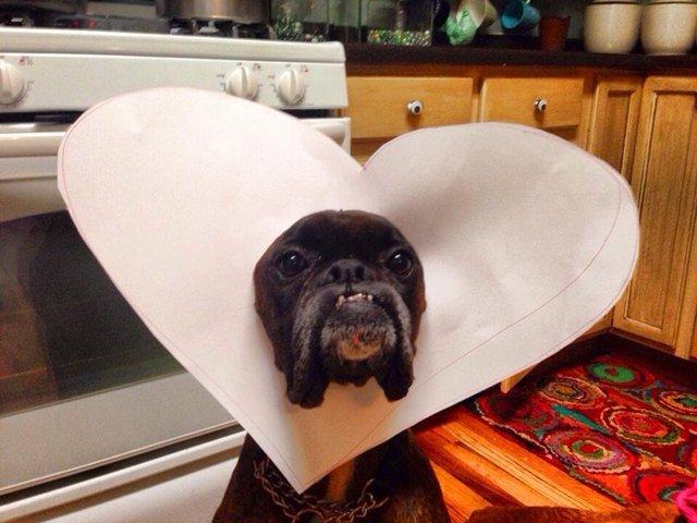 Dog wearing E-collar shaped like a heart