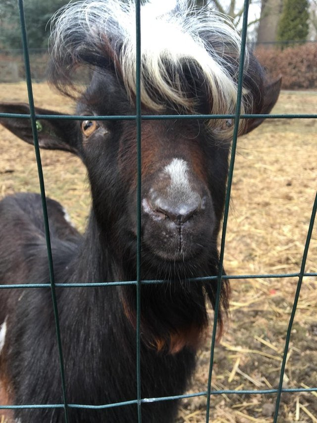 Goat with hair and beard.