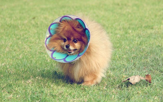 Dog wearing E-collar decorated like a flower