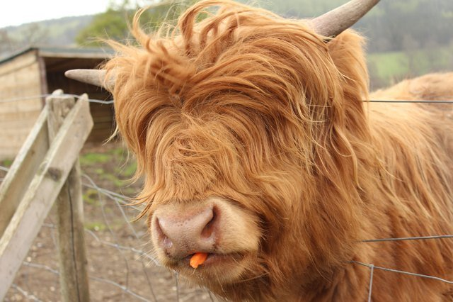 Cow with mop of red hair