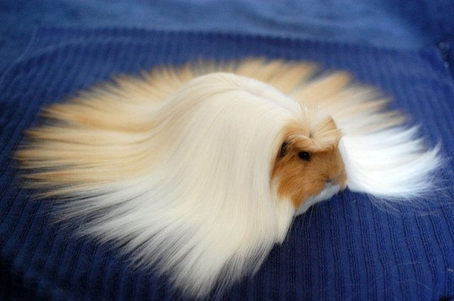 Guinea pig with long blond hair