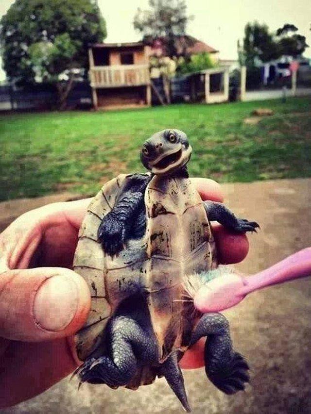 Toothbrush turtle