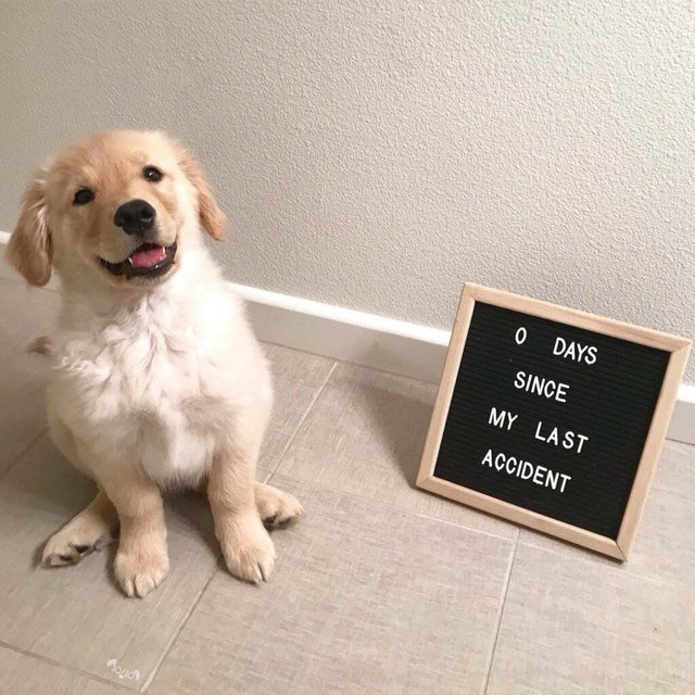 """Proud puppy sitting by a sign that says """"0 days since my last accident"""""""