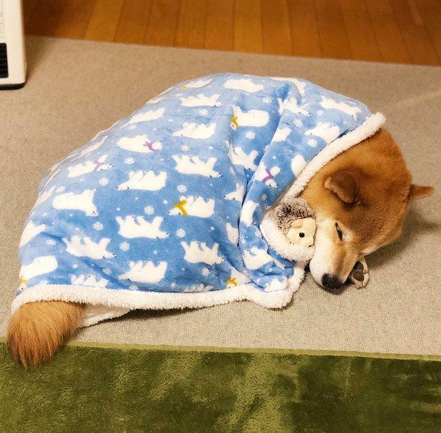 Shiba Inu tucked under blanket.