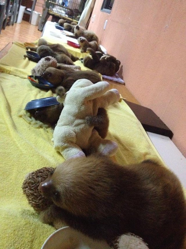 Baby sloths snuggling stuffed animals at a sloth sanctuary