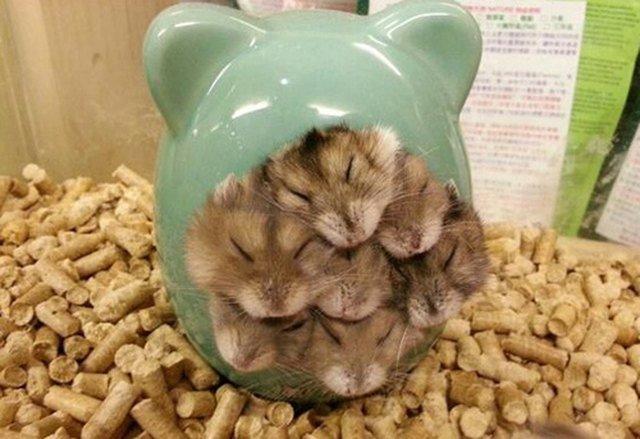 Hamsters sleeping in a pile.