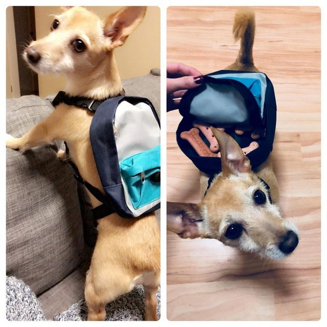 Dog wearing backpack full of treats.