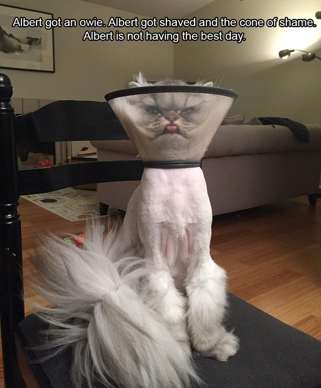 Shaved cat wearing E-collar
