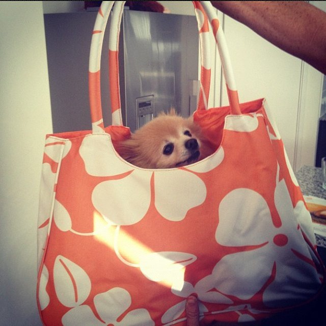 Dog in tote bag.