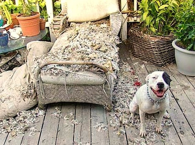Pitbull type dog sitting next to destroyed outdoor chaise lounge.