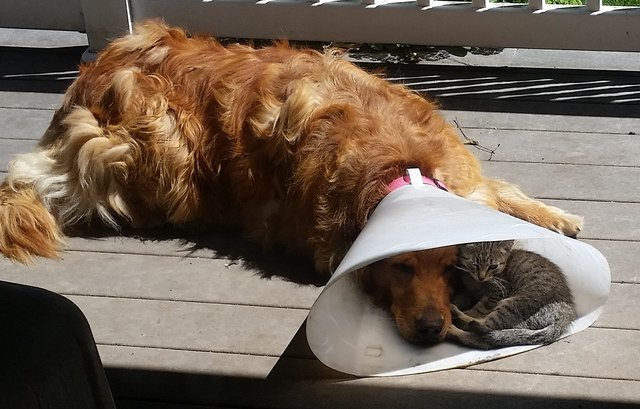 Dog wearing E-collar with kitten curled up inside it