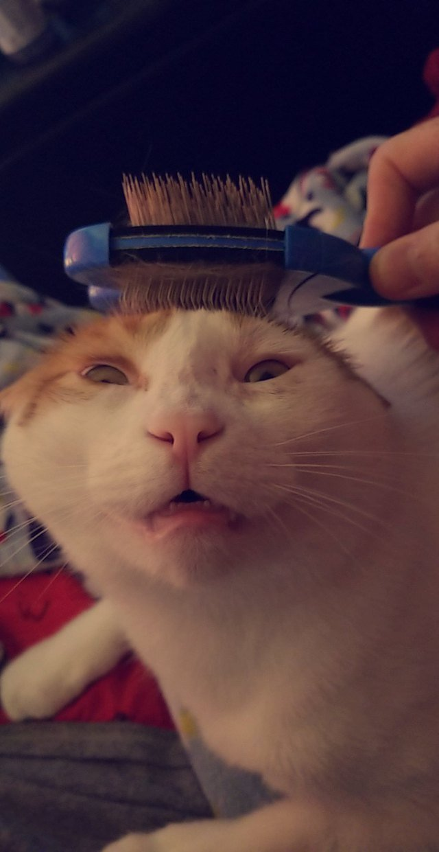Cat getting brushed