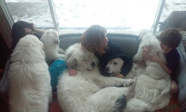 Great Pyrenees dogs on couch with people.