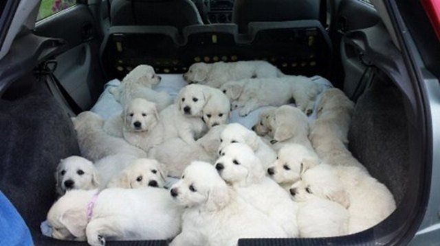 Trunk of hatchback full of puppies.