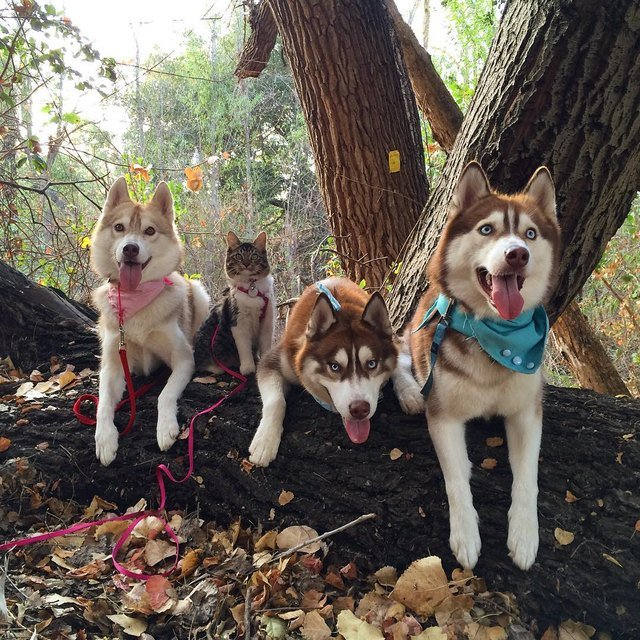 Three Huskies and a cat posing on a log.