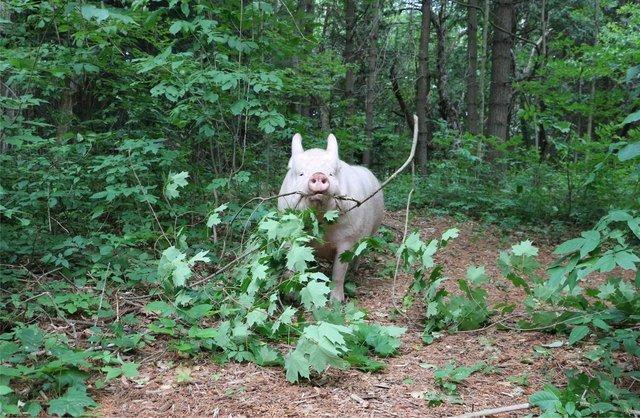 Pig retrieving a large branch.