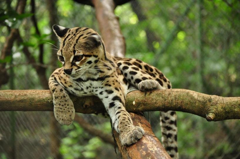 Image result for margay