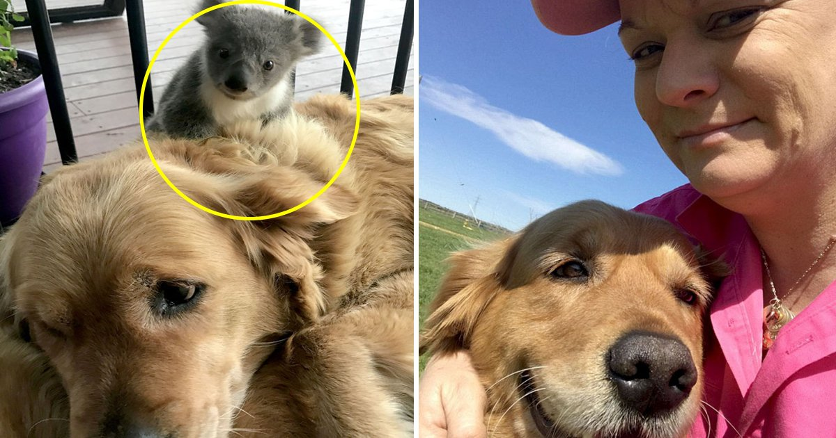 bhfh.jpg?resize=300,169 - Golden Retriever Saved Life Of A Baby Koala And Carried It On Her Back The Whole Night